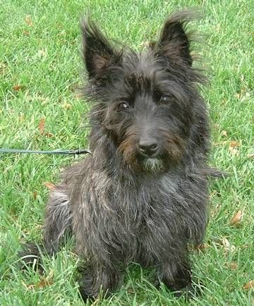 Cairn Terrier Information and Pictures, Cairn Terriers, Cairns