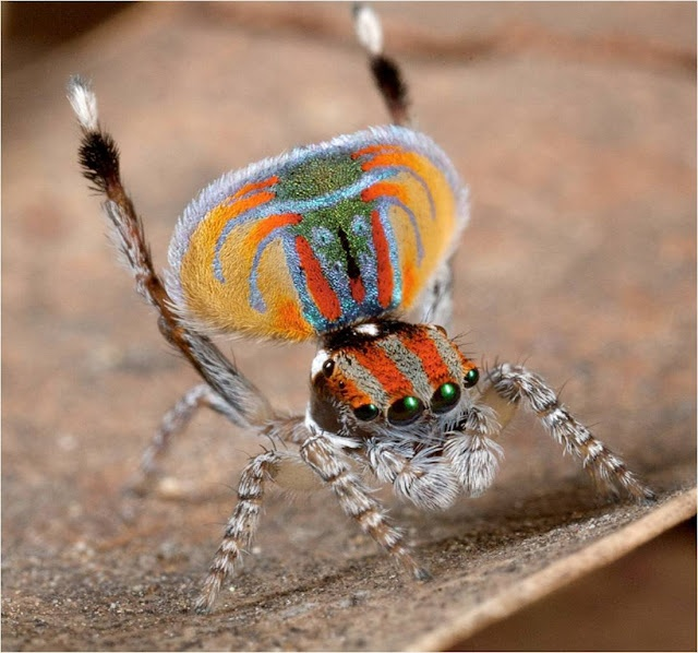little peacock spider!