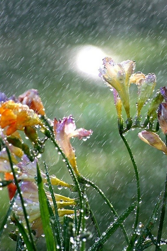 Freesias -  April showers bring May flowers!