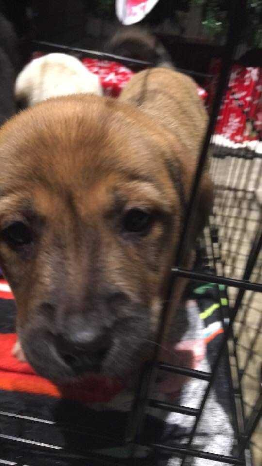 Great Pyrenees dog for Adoption in White River Junction, VT. ADN-415649 on PuppyFinder.com Gender: Female. Age: Baby