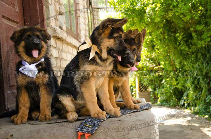 Cute #German #Shepherd #puppies