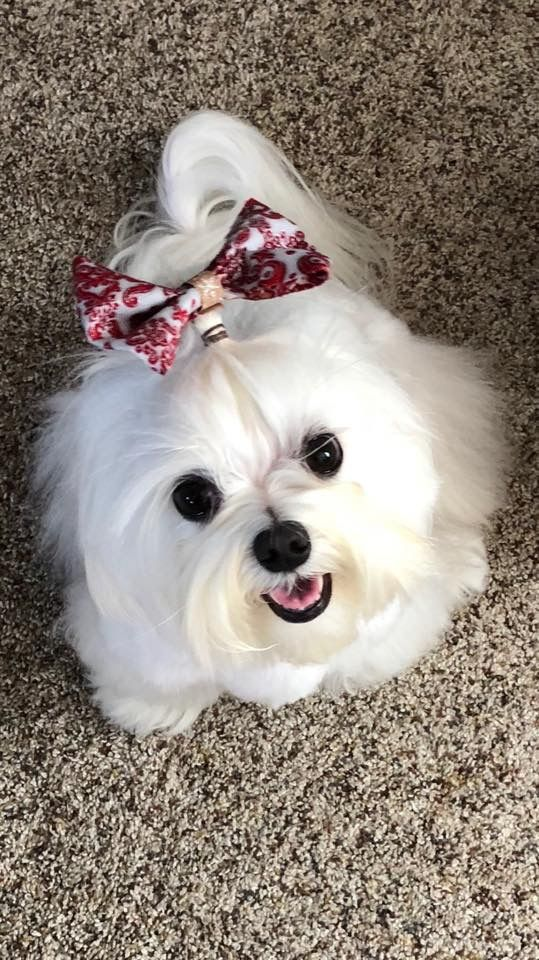 Beautiful Maltese Puppy Maltese Dogs Teacup Puppies Maltese