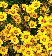 Krásnoočko mnohokveté  ´BABY SUN´