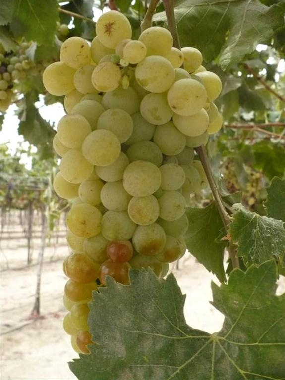 Torontel grape.  Torontel grape belongs to Muscats family. France produce one of her most prized wines with this grape, Muscat Frontignan. This variety has pale green skin, but by the action of sunlight the grapes can become a gold-tone brown.  Probably Origin: Spain (Galicia)  Variety: Torontel (Torrontes)  Principal uses: Pisco, table  Plant Vigor: well  Shape and size: conical berries and bunches medium to large,  shape oval, color of the grain: golden or yellow color  Harvest time in…