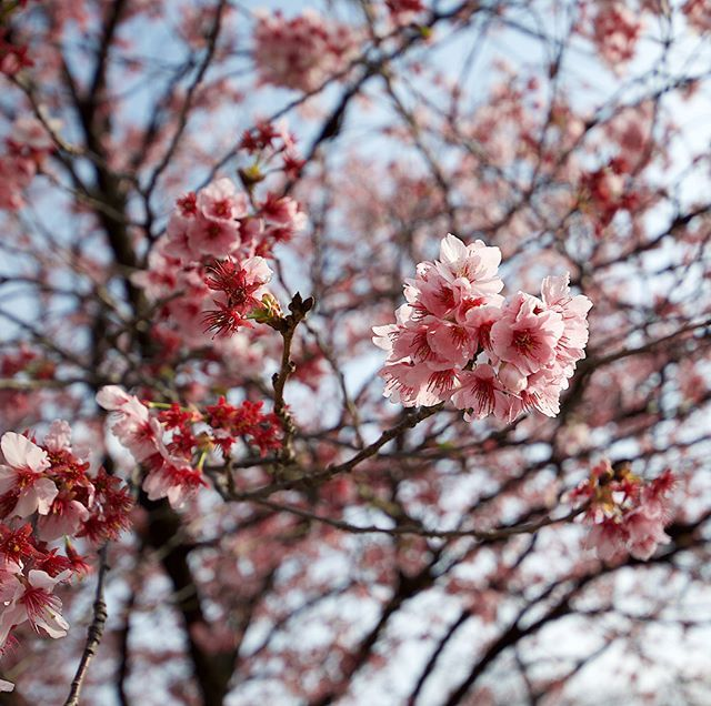 Do You Know The Difference Between Cherry Peach And Plum Blossoms This Is A Cherry Blossom Which You Can Cherry Blossom Petals Plum Blossom Cherry Blossom