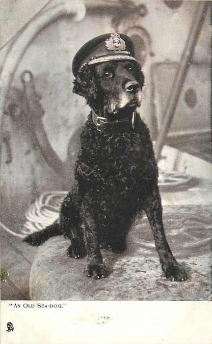 AN OLD SEA-DOG  curly coated retriever wearing officers cap