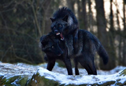 A GAME OF WOLVES