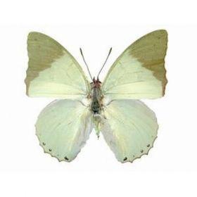 Vlinders :: Charaxes subornatus