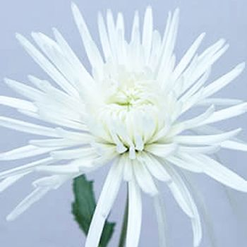 Super White Spider Mum Flower DeliStar