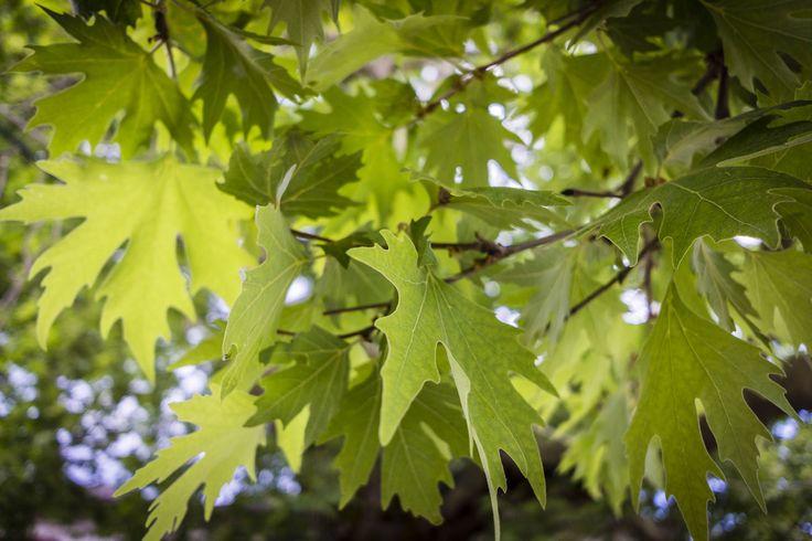 Close-up of plane tree leaves, Zagóri, Greece.
