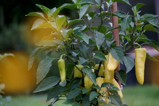Hungarian wax peppers.
