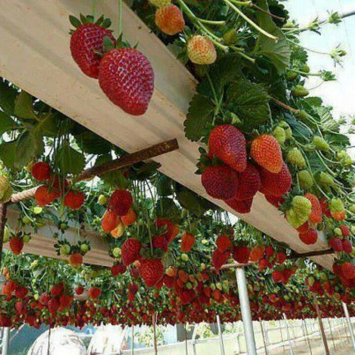 Cool greenhouse idea, great recycle of gutters. Could also just stack these gutters on a vertical frame and put them next to your house or behind your raised garden beds. More