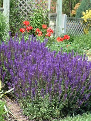 57 best images about plants perennials ornamental for Low maintenance perennial flower bed
