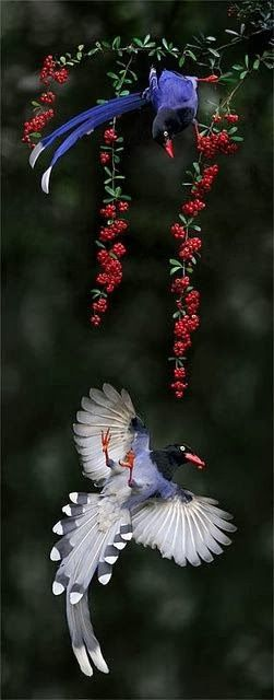 Taiwan Blue Magpies