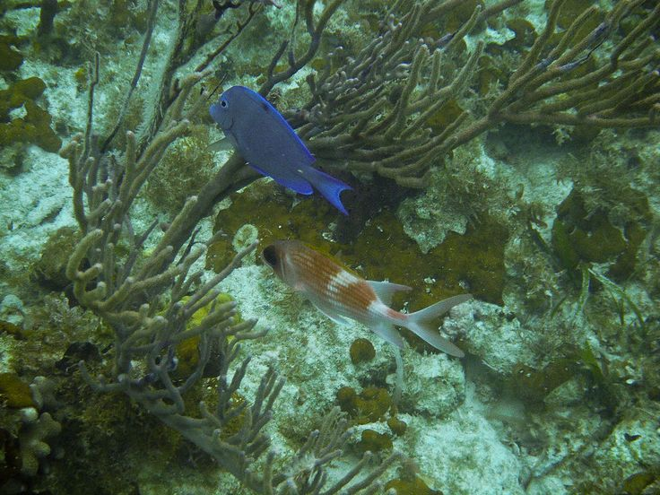 A Blue Tang and a Squirrelfish in Princess Alexandra Land and Sea National Park, Providenciales ◆Turks and Caicos Islands - Wikipedia http://en.wikipedia.org/wiki/Turks_and_Caicos_Islands #Turks_and_Caicos_Islands