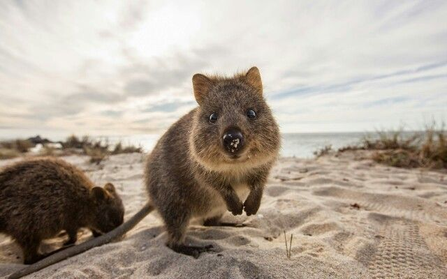 Little Aussies- The Quokka