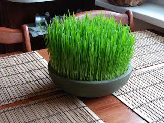 RUMPUT GANDUM wheatgrass: Binatang Piaraan Suka Rumput Gandum