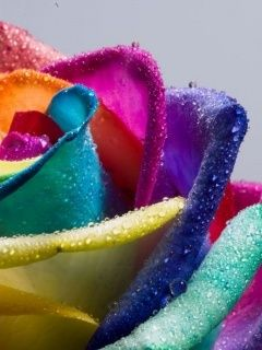 Download Rainbow Rose Mobile Wallpaper | Mobile Toones
