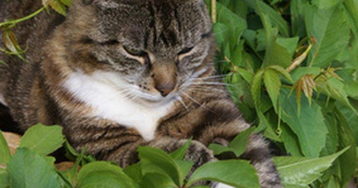 Consejos sobre las manchas marrones en una Dracaena Warneckii. La dracaena rayada (Dracaena deremensis 'Warneckii') es una planta que se distingue por un par de rayas verde pálidas que van hacia abajo por los bordes de las hojas. Son plantas tropicales que sólo pueden ser cultivadas al aire libre en las regiones más cálidas de los Estados Unidos, incluyendo las áreas del sur de Florida y California. Las ...