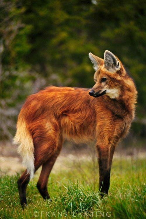 Wilk grzywiasty || Maned wolf