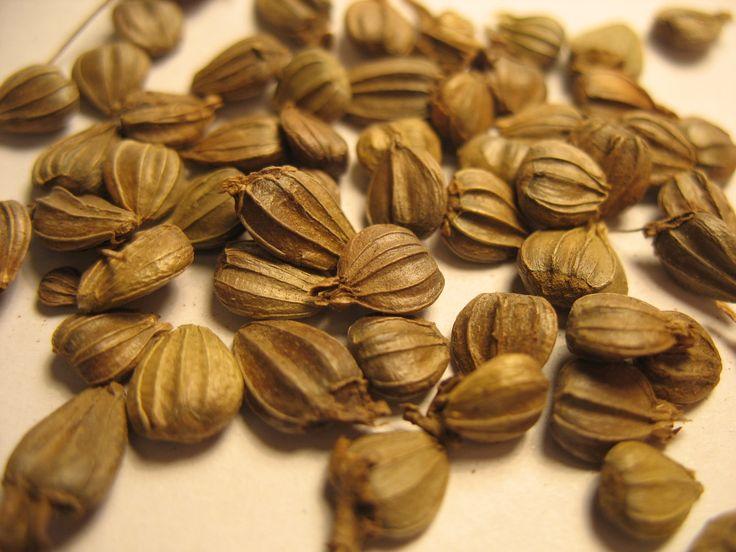 1 Carpinus Betulus European Hornbeam 10 seeds