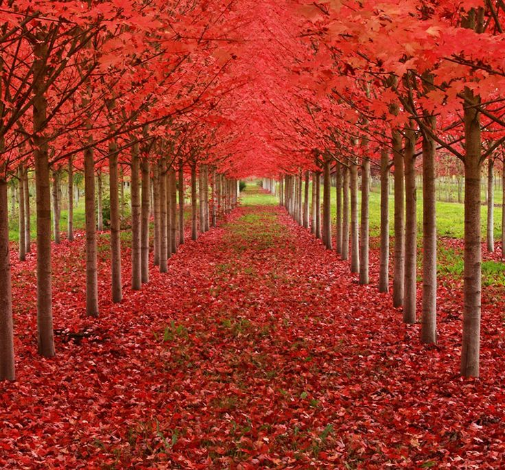 Atunnel formed from maple trees, Oregon, USA