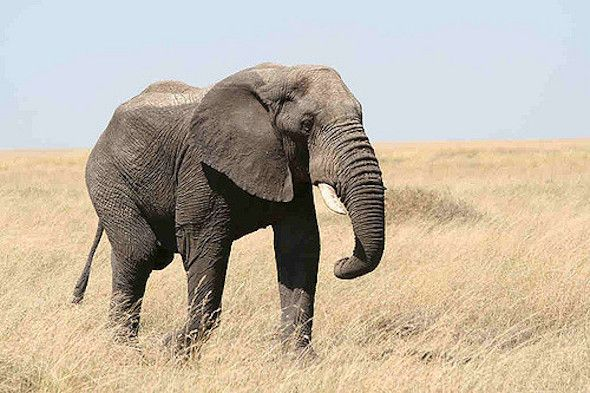 """A Victory for Elephants: World Governments Call for Closure of Ivory Markets""--After fierce debate, disagreements and walkouts, the motion was adopted on the final day of the International Union for Conservation of Nature World Conservation Congress. - 2016/09/11"
