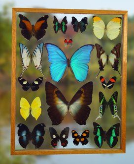 Butterfly displays can be found at Earthbound Trading Company at the Tyler Mall. I know Vic's been wanting one for over a year now.