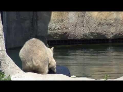 IJsbeer Blijdorp met ton aan het spelen - YouTube