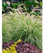 Sky Rocket Fountain Grass (Pennisetum setaceum 'Sky Rocket' P.P. #21497 CPBR4208) - Monrovia - Sky Rocket Fountain Grass (Pennisetum setaceum 'Sky Rocket' P.P. #21497 CPBR4208)