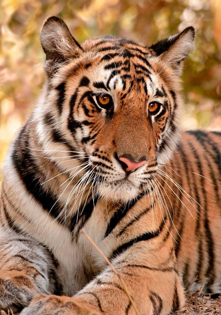 A beautiful stunning Big Cat