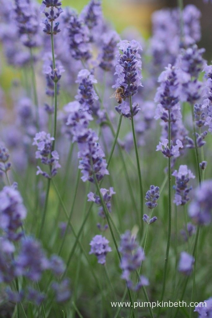 Bees and butterflies love Lavender, it's a great plant to have in your garden. Lavandula angustifolia is a compact variety, ideal for containers.