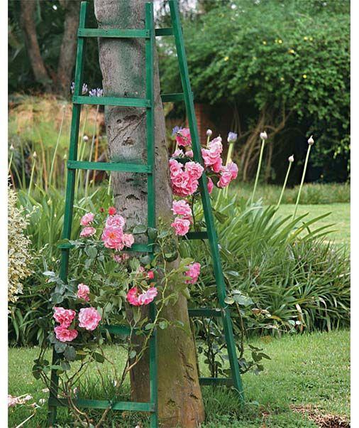 """A rosa-trepadeira adorna 2 escadas de madeira conduzem a espécie. """"Procurei não esticar as plantas até o topo dos suportes. A ideia é que, com o tempo, as roseiras preencham os tutores e ganhem uma cara de arbusto"""". Plantar a sol pleno, podar anualmente e colocar os adubos foliar e com esterco na composição. """"A espécie floresce o ano todo, à exceção do inverno, época ideal para a poda"""".A primavera é propícia à condução,é o período de > crescimento."""