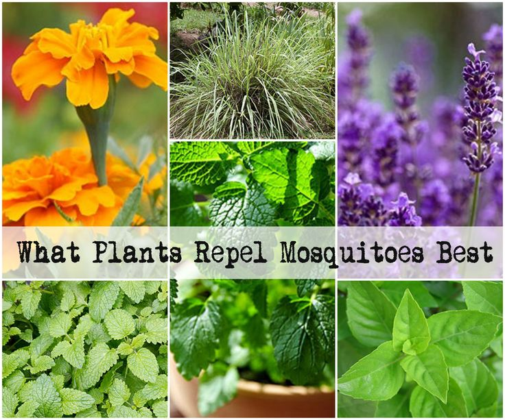 Pitch the harmful DEET and grow these 5 plants to REPEL Mosquitoes  http://www.healthy-holistic-living.com/mosquito-repelling-plants.html