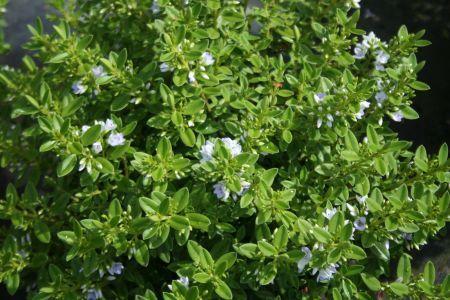 HEBE CANTERBURIENSIS, Veronica Blanca. Crece hasta 1 mt, florece a principios de verano. Perenne, riego moderado, sol, semisombra. Plantar a 60 - 90 cms entre plantas.