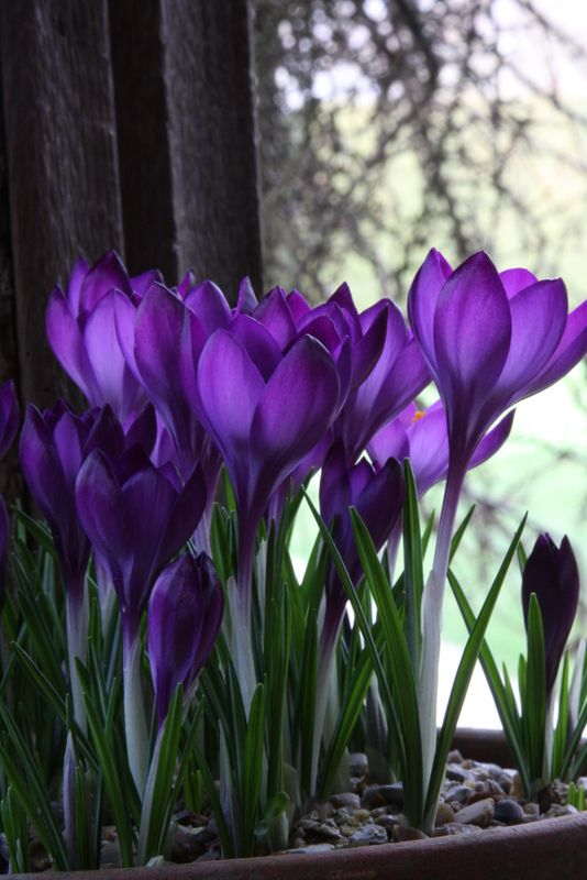 Crocus bulbs work indoors when forced, but you need lots for effect!
