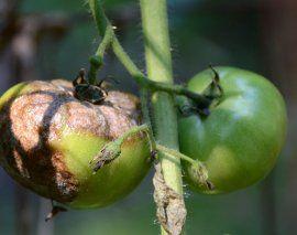 : Фитофтора на помидорах