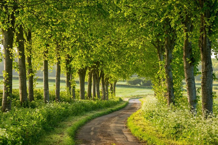 Winding country lane through avenue of deciduous trees in spring, Dorset, England