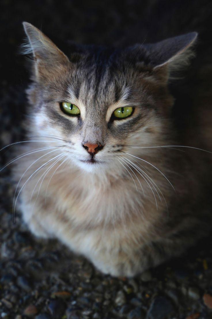 10 Most Popular Cat Breeds Most Popular Cat Breeds Cat Breeds List Cat Breeds