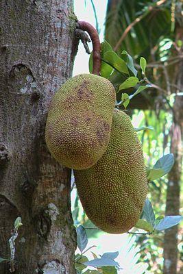 """Die Jackfrucht wächst direkt am Stamm des Baumes  """"Der Jackfruchtbaum (Artocarpus heterophyllus) ist eine Pflanzenart in der Familie der Maulbeergewächse (Moraceae). Die Frucht wird #Jackfrucht , auch Jackbaumfrucht, Jakobsfrucht, im brasilianischen Portugiesisch jaca und auf Malaiisch nangka genannt. Die Trivialnamen sollen von dem Malayalam-Wort chakka herrühren."""""""