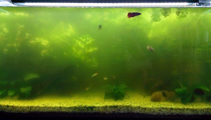 Algas verdes y filamentosas en el acuario ¿Cómo eliminarlas? - http://www.depeces.com/algas-verdes-filamentosas-acuario-eliminarlas.html
