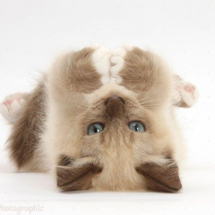 Birman Kittens | World of Animal