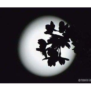 【tabikuu】さんのInstagramをピンしています。 《今日は中秋の名月、十五夜さんですね。 まだ満月ではありませんが、ほんのわずか欠けている部分があるのがまた風流かもしれません。 今夜はゆっくり夜空を見上げてみてはいかがでしょうか。 展示作品のご紹介。 「月下の桜」(山梨県韮崎市 / 2014 / 牛山俊男) 遠景の多くなりがちな星空写真の中で、ひときわ目を引く美しい一枚。 丸い月の中に映し出された桜の花影。 その花弁や雄しべまでくっきりと鮮やかに映し出す技術は大変な苦労があるそうで、肌で感じられないくらいのわずかな微風でも、枝端の花が揺れるのを、動く月とともにカメラ位置をわずかずつ変えながらも長時間かけて百枚近く撮影した中の一枚だそうです。 #旅 #一人旅 #星 #星空 #星空写真 #月 #月光 #満月 #十五夜 #中秋の名月 #月夜 #桜 #牛山俊男 #山梨県 #韮崎市 #八ヶ岳 #夜景 #japanese  #japan》