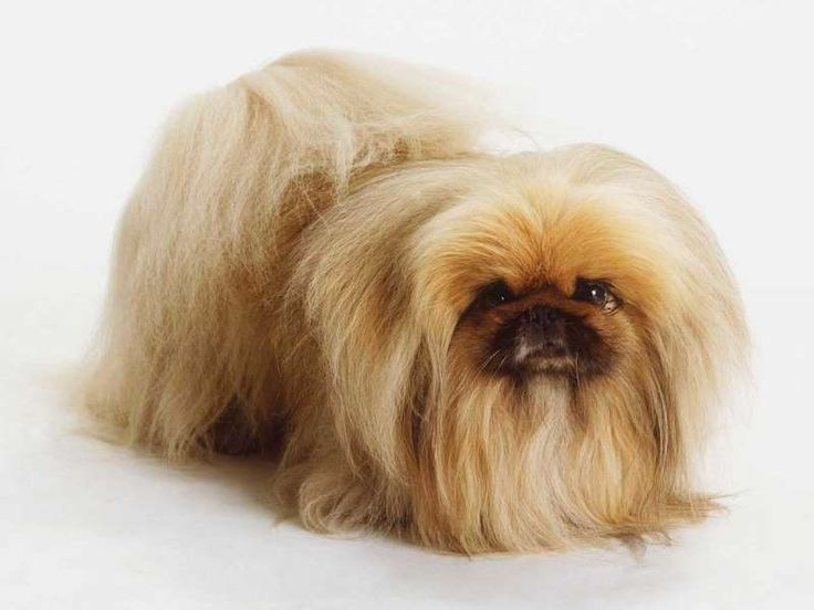 7. Pekinés - Es uno de los perros que más ama la comodidad, por lo cual estimularlo a obedecer órden... - Steve Shott/Getty Images