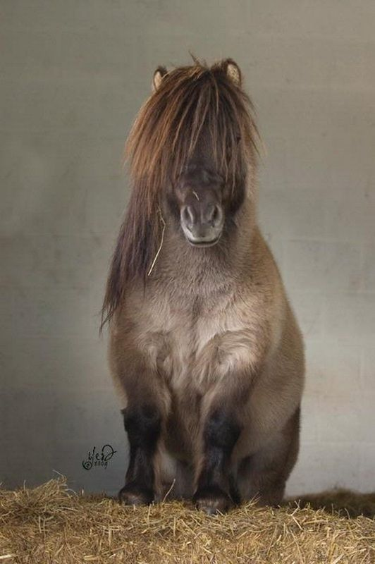 Best 25+ Miniature shetland pony ideas on Pinterest | Miniature ...