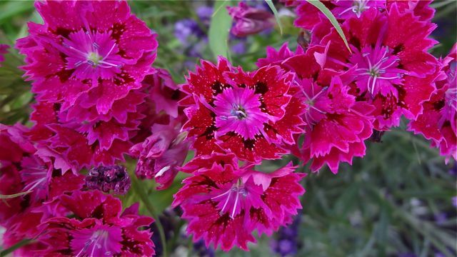 Dianthus, what a variety