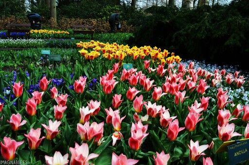 140 best images about jardin de keukenhof holanda on pinterest gardens the netherlands and - Jardines de tulipanes en holanda ...