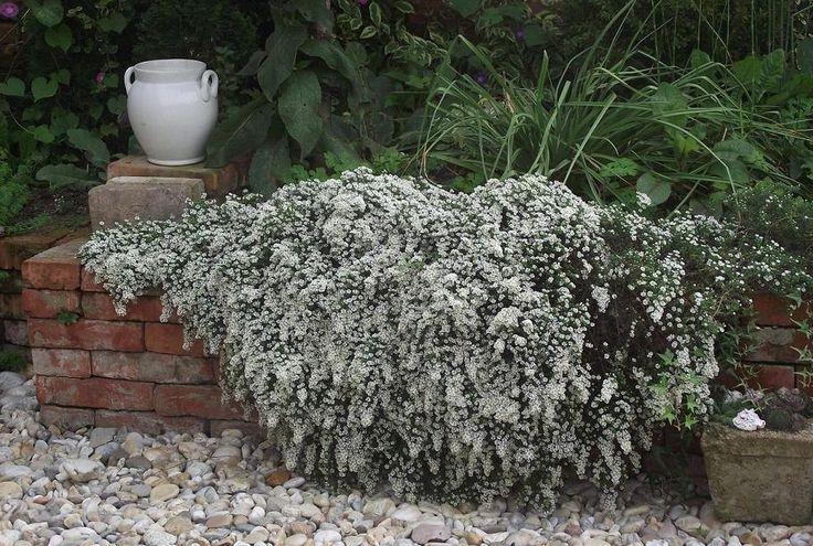 aster ericoides ´snow flurry´ - my garden