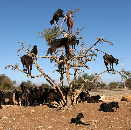 Tree Goats in India