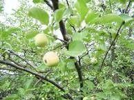Яблоня аркад бирюкова